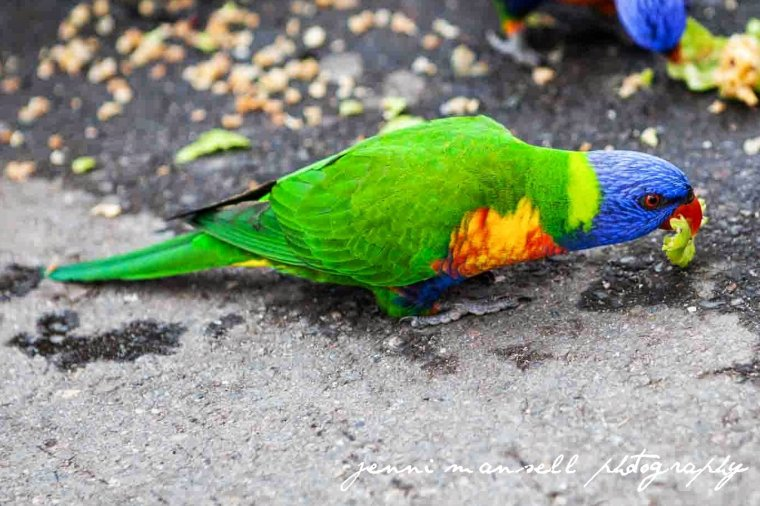 And a couple wildlife shots- A Rainbow Lorikeet at my nephews' school.