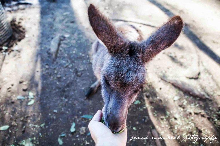 My turn to feed the kangaroo.