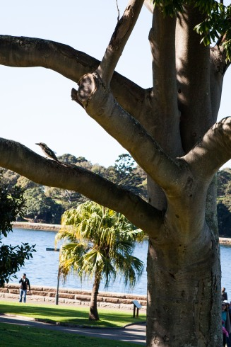 The kookaburra that stole John's ham in the tree.