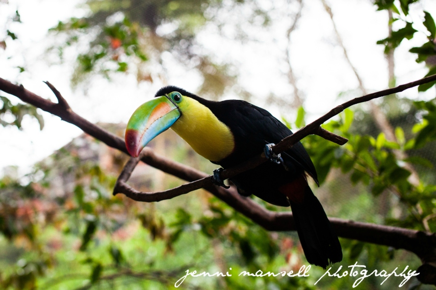 A toucan at the La Paz Waterfall Gardens