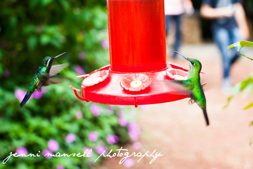 Hummingbirds at the La Paz Waterfall Gardens.  Those creatures are not easy to capture in photos!