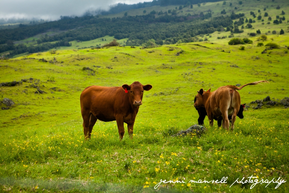 Thompson Road- Hawaiian Cows!