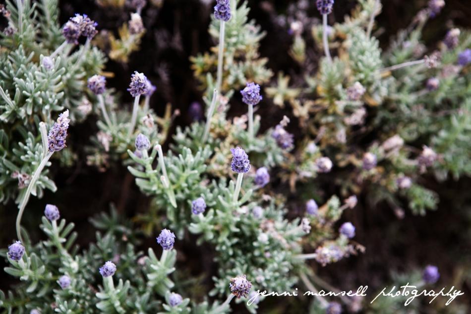 Ah, lavender such great stuff.