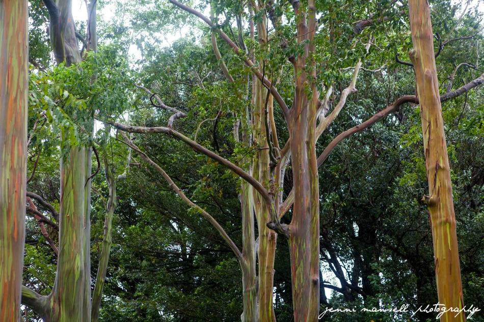 The Rainbow Eucalyptus (Eucalyptus deglupta)