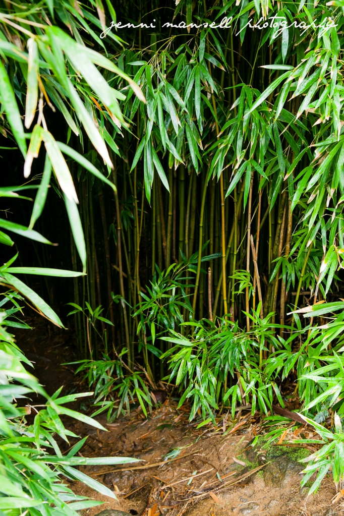 Entering the bamboo forest off of the  Hana highway.