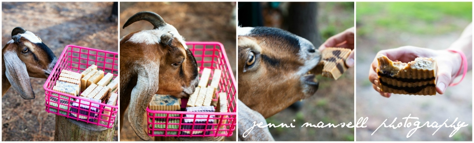 ... then this happened.  Goats really will eat anything!